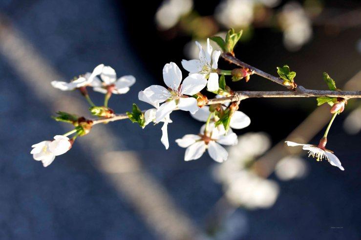 Cormier_spring_flowers040913_IMG_1473watermarked