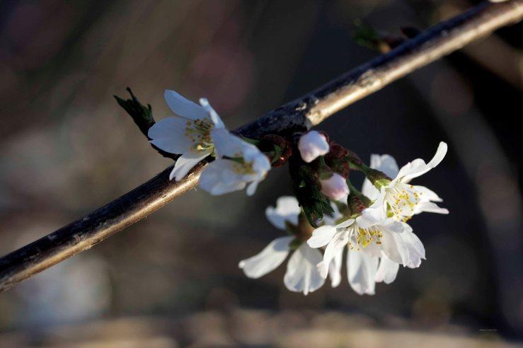 Cormier_spring_flowers040913_IMG_1475watermarked