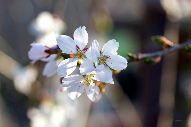 Cormier_spring_flowers040913_IMG_1476watermarked