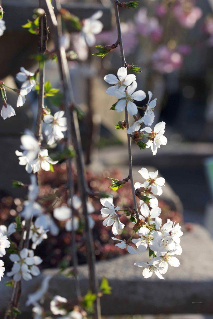 Cormier_spring_flowers040913_IMG_1477watermarked