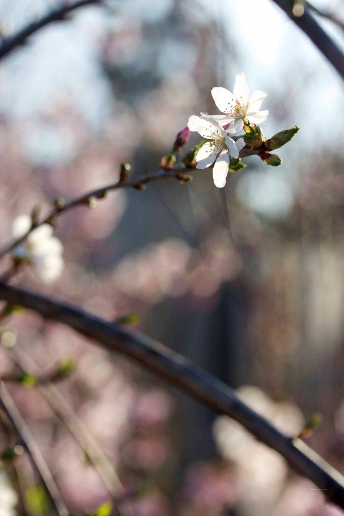 Cormier_spring_flowers040913_IMG_1479watermarked