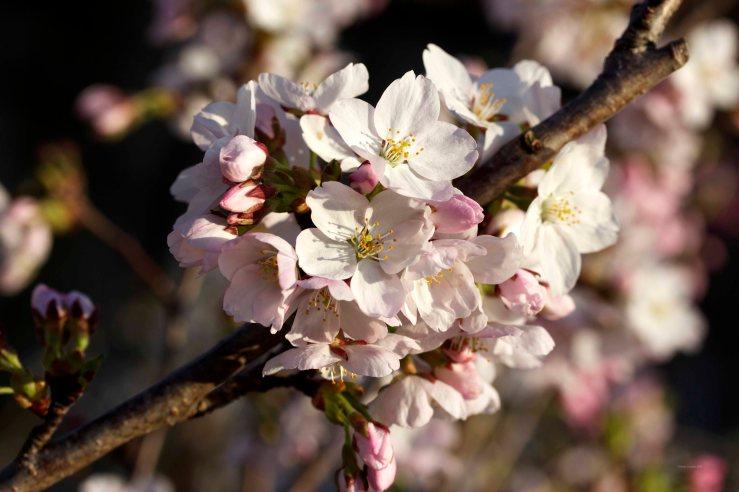 Cormier_spring_flowers040913_IMG_1484watermarked