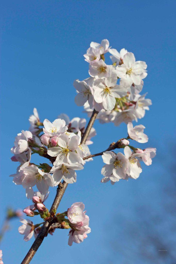 Cormier_spring_flowers040913_IMG_1485watermarked
