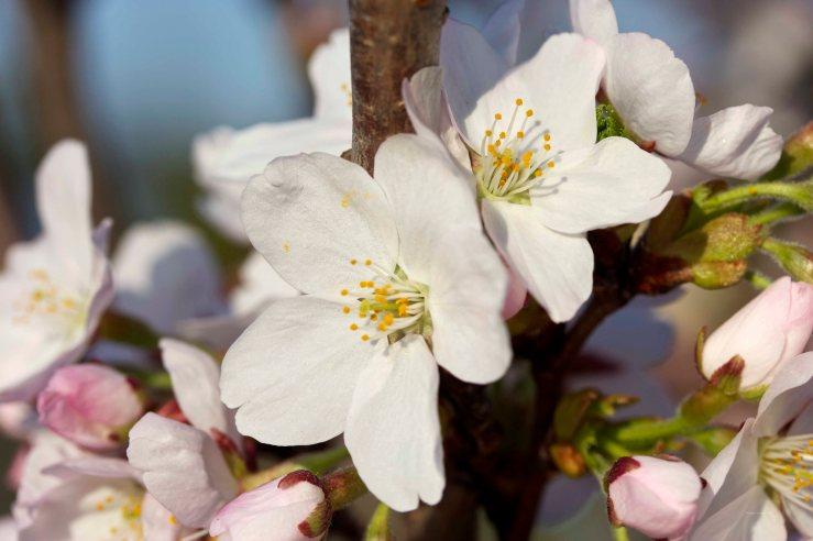 Cormier_spring_flowers040913_IMG_1495watermarked