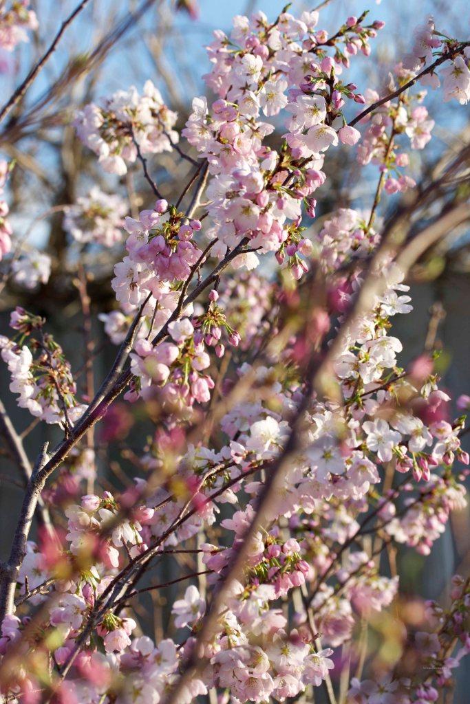 Cormier_spring_flowers040913_IMG_1496watermarked