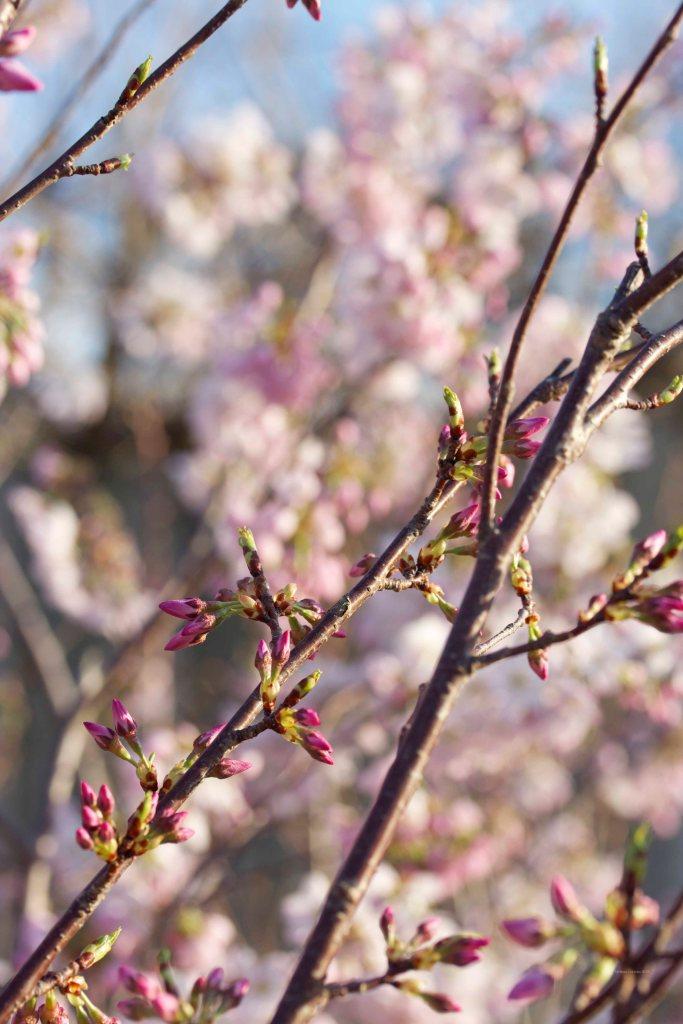 Cormier_spring_flowers040913_IMG_1497watermarked