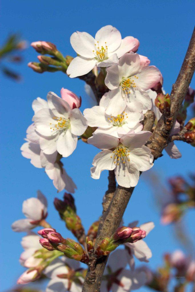 Cormier_spring_flowers040913_IMG_1498watermarked