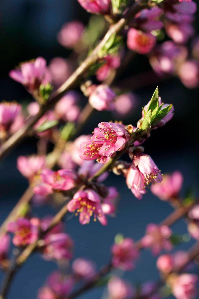 Cormier_spring_flowers040913_IMG_1505watermarked