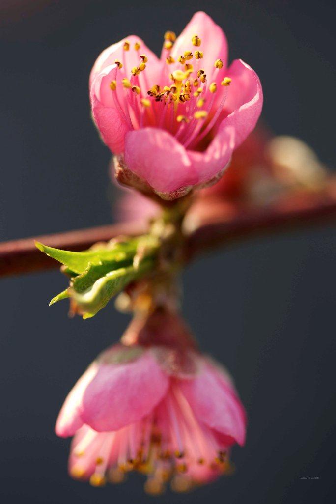 Cormier_spring_flowers040913_IMG_1514watermarked
