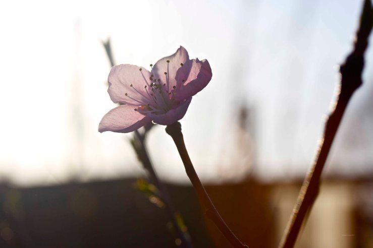 Cormier_spring_flowers040913_IMG_1521watermarked
