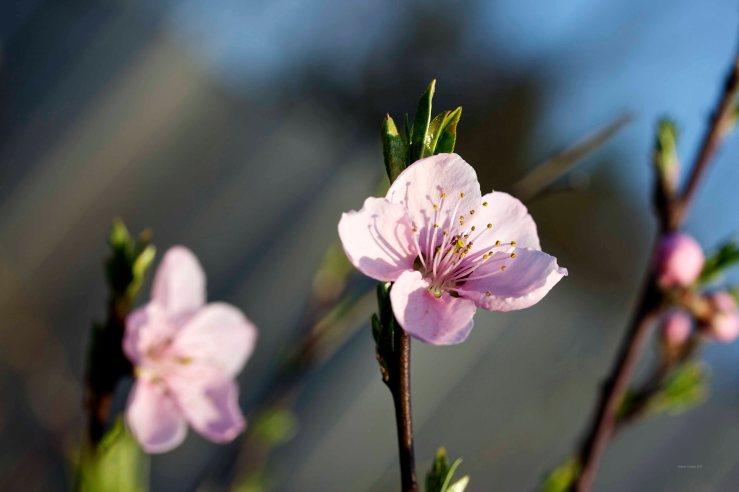 Cormier_spring_flowers040913_IMG_1530watermarked