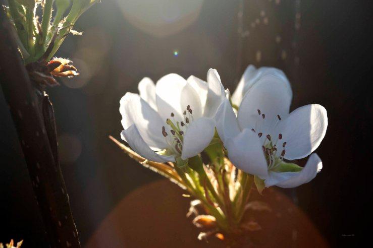 Cormier_spring_flowers040913_IMG_1535watermarked