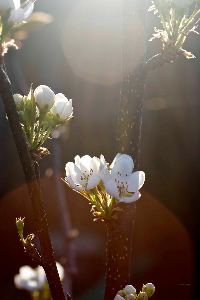 Cormier_spring_flowers040913_IMG_1537watermarked