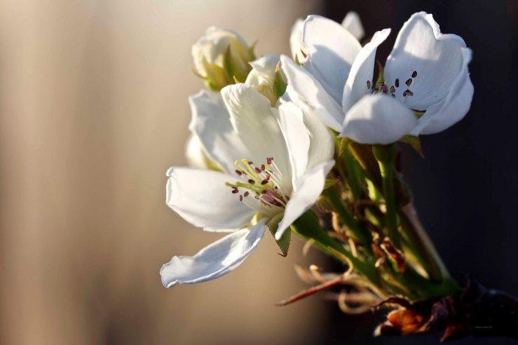 Cormier_spring_flowers040913_IMG_1540watermarked