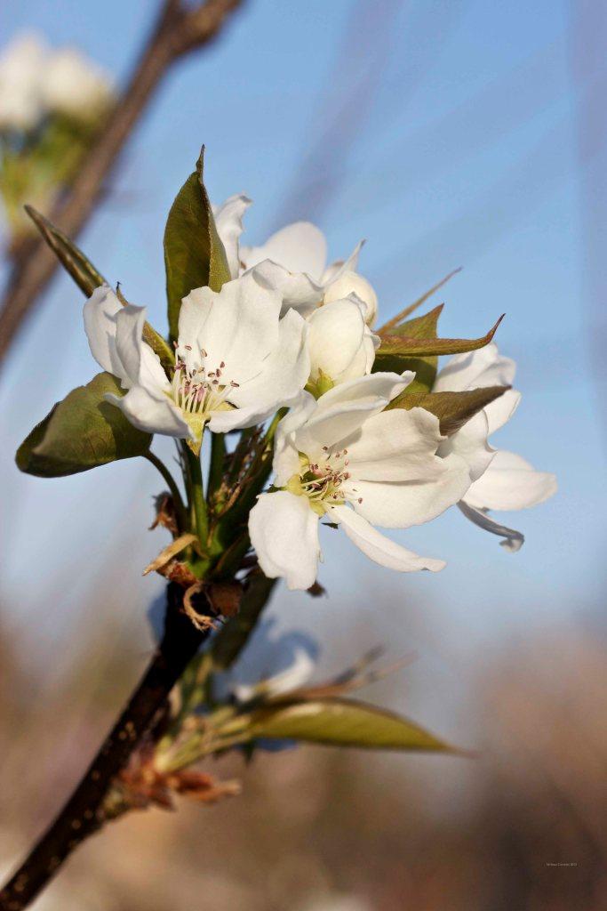 Cormier_spring_flowers040913_IMG_1542watermarked